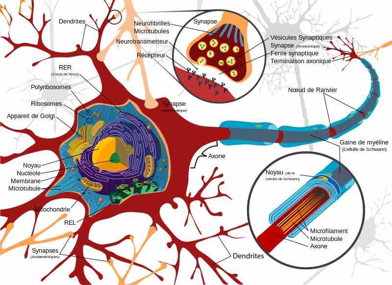 Schéma_complet_neurone_Kronos